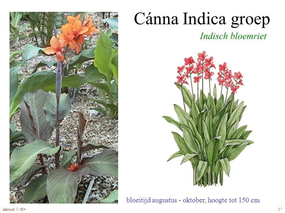 Cánna Indica groep Indisch bloemriet