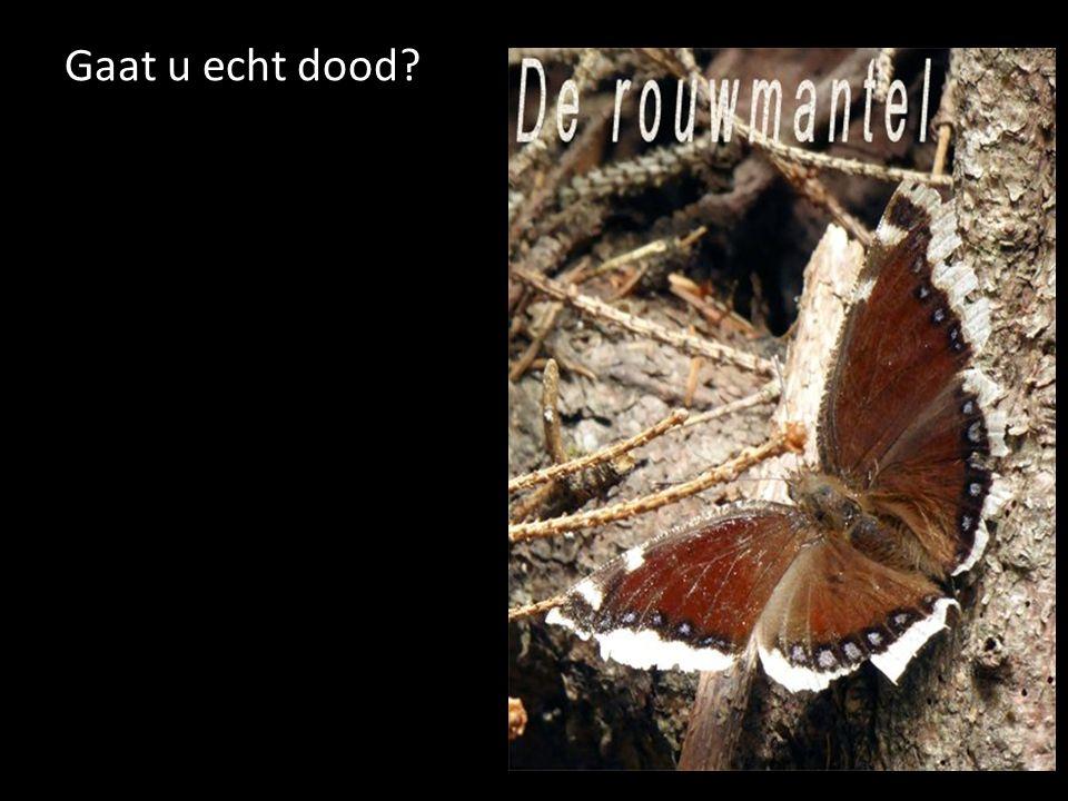 Gaat u echt dood De rouwmantel. Deze vlinder 'schoot' ik in Sint Jakob in het Lesachtal.