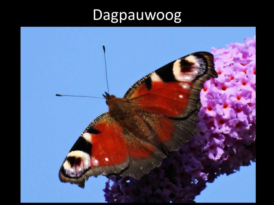 Dagpauwoog Dagpauwoog als tegenhanger van de rouwmantel.