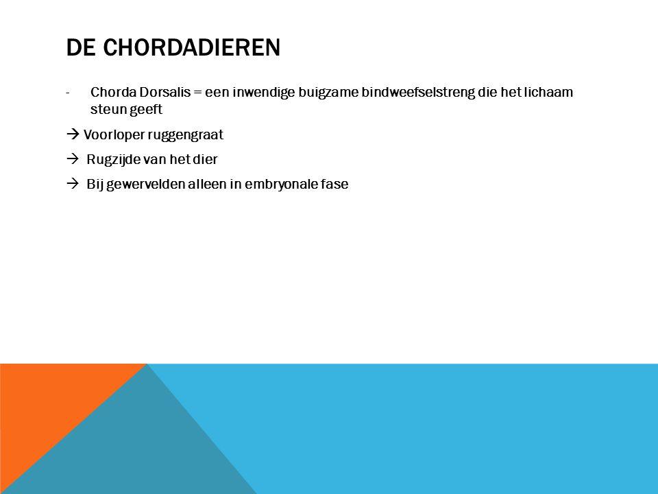 De chordadieren Chorda Dorsalis = een inwendige buigzame bindweefselstreng die het lichaam steun geeft.