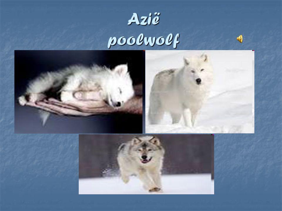 Azië poolwolf