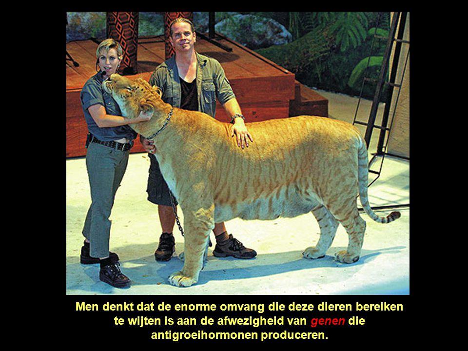 Men denkt dat de enorme omvang die deze dieren bereiken te wijten is aan de afwezigheid van genen die antigroeihormonen produceren.