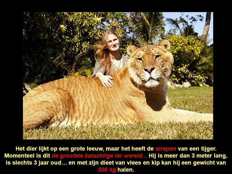Het dier lijkt op een grote leeuw, maar het heeft de strepen van een tijger.