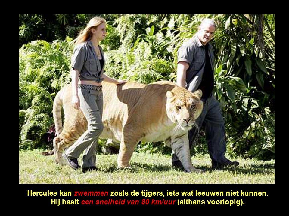 Hercules kan zwemmen zoals de tijgers, iets wat leeuwen niet kunnen