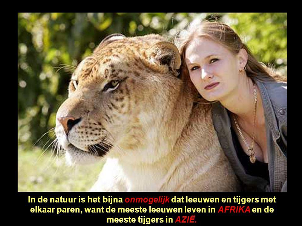 In de natuur is het bijna onmogelijk dat leeuwen en tijgers met elkaar paren, want de meeste leeuwen leven in AFRIKA en de meeste tijgers in AZIË.
