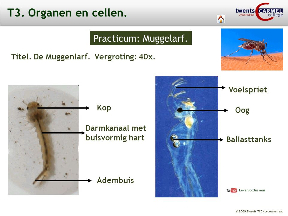 T3. Organen en cellen. Practicum: Muggelarf.