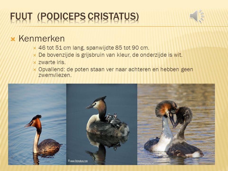 Fuut (Podiceps cristatus)