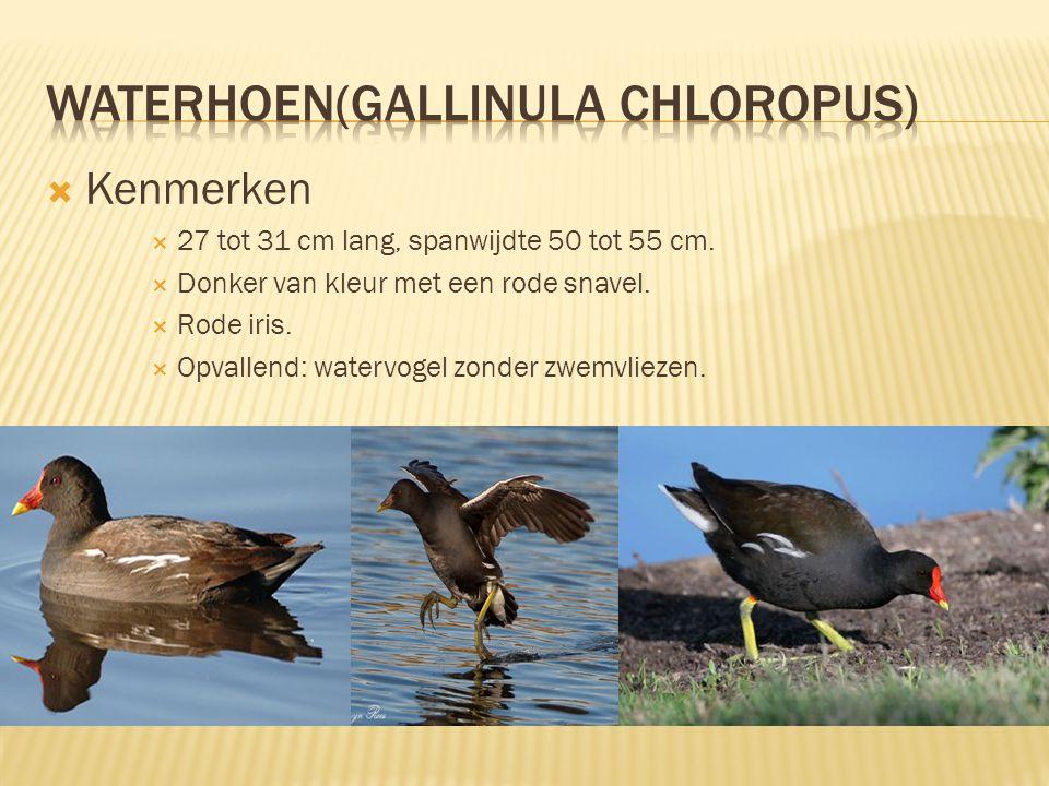 waterhoen(gallinula chloropus)