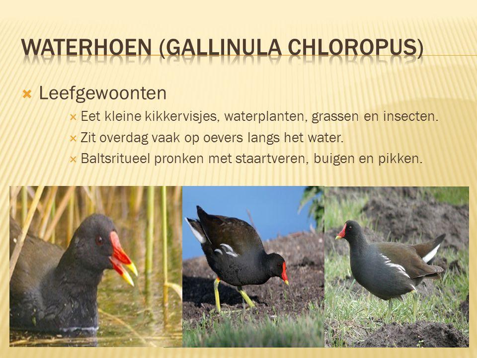 waterhoen (gallinula chloropus)