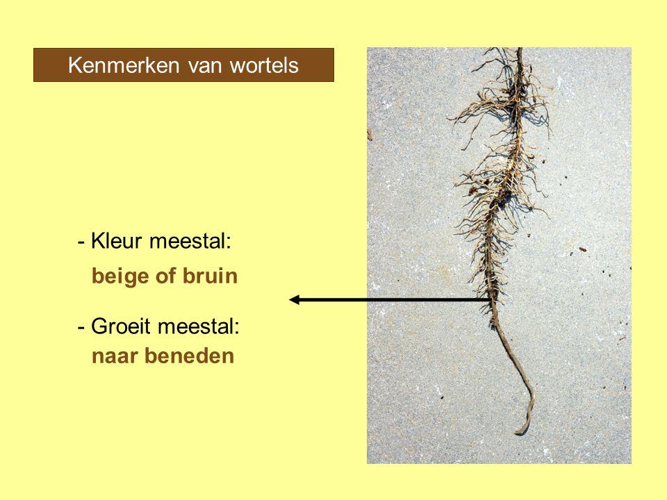 Kenmerken van wortels - Kleur meestal: - Groeit meestal: beige of bruin naar beneden