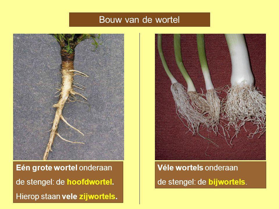 Bouw van de wortel Eén grote wortel onderaan Véle wortels onderaan