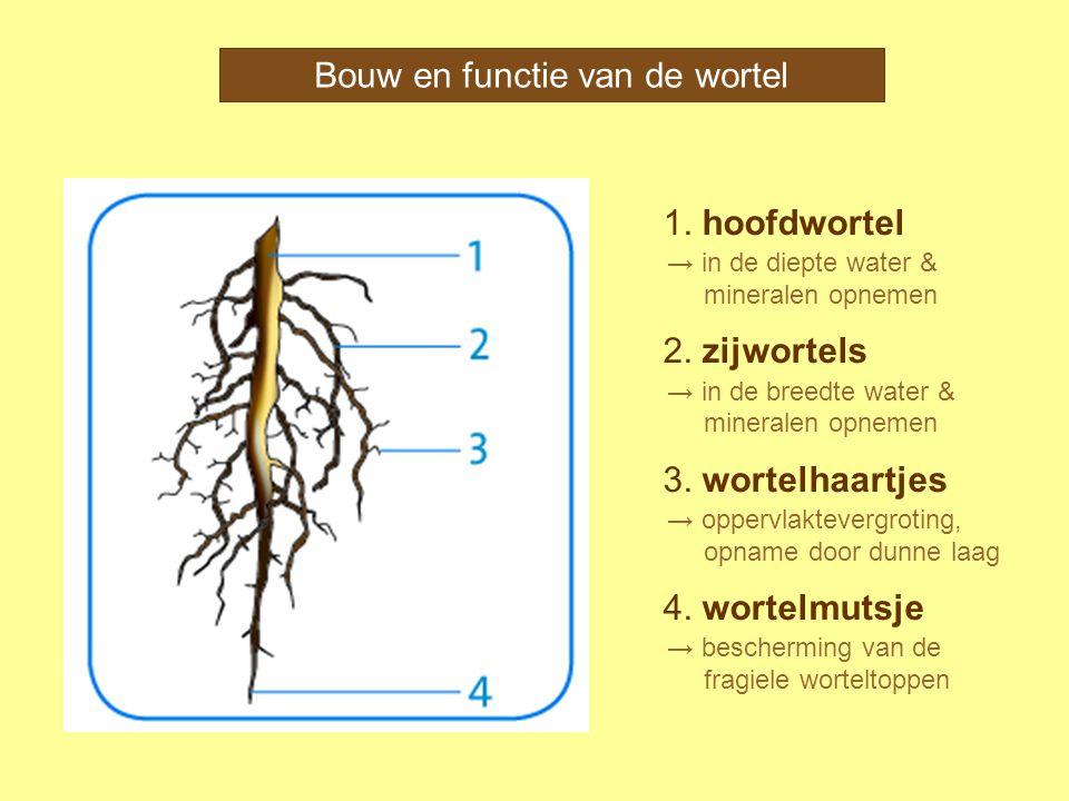 Bouw en functie van de wortel