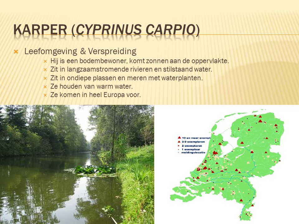 Karper (Cyprinus carpio)
