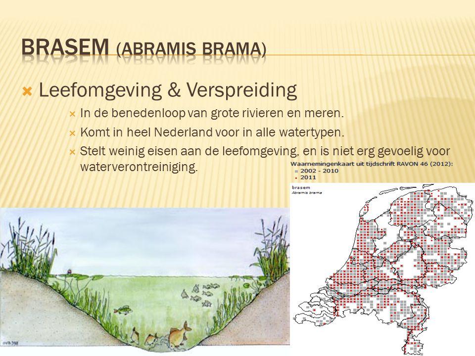 Brasem (abramis brama)