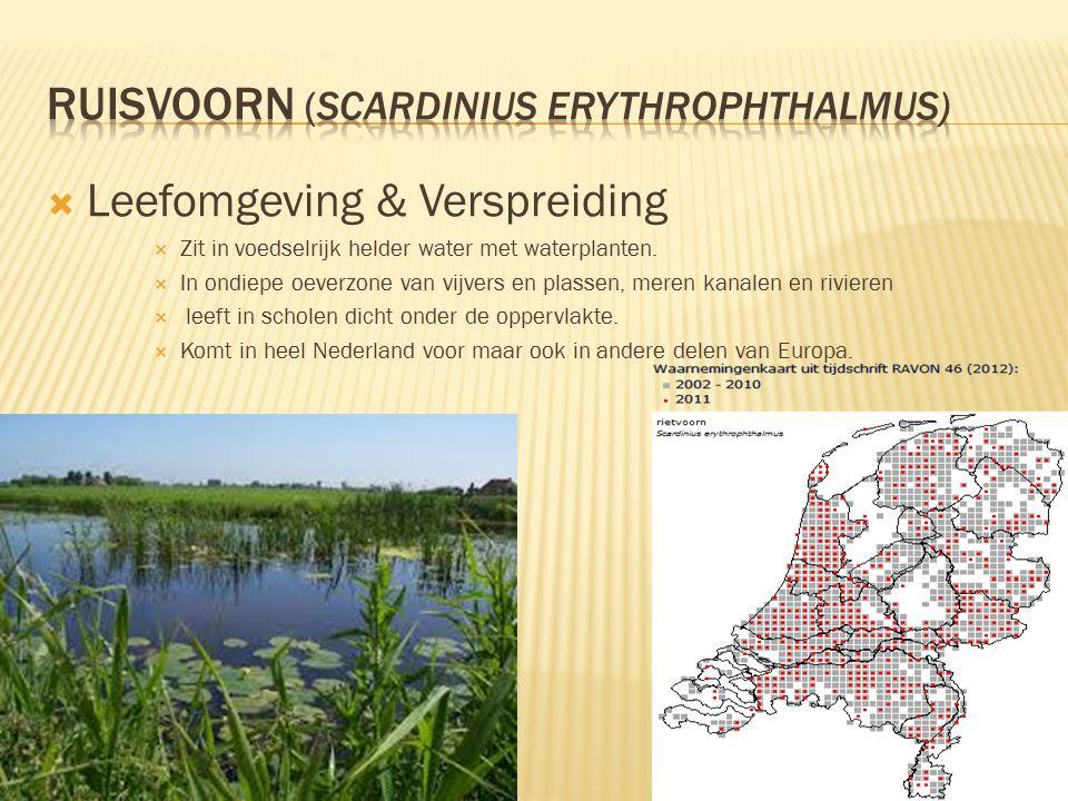 Ruisvoorn (Scardinius erythrophthalmus)