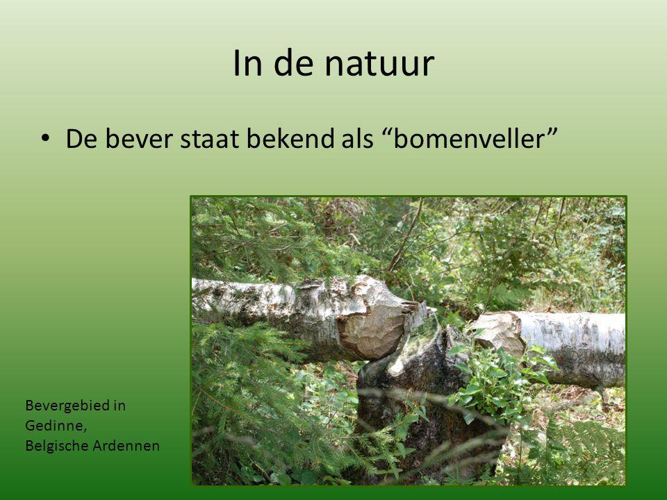 In de natuur De bever staat bekend als bomenveller