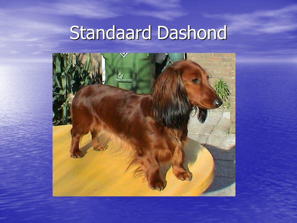 Standaard Dashond