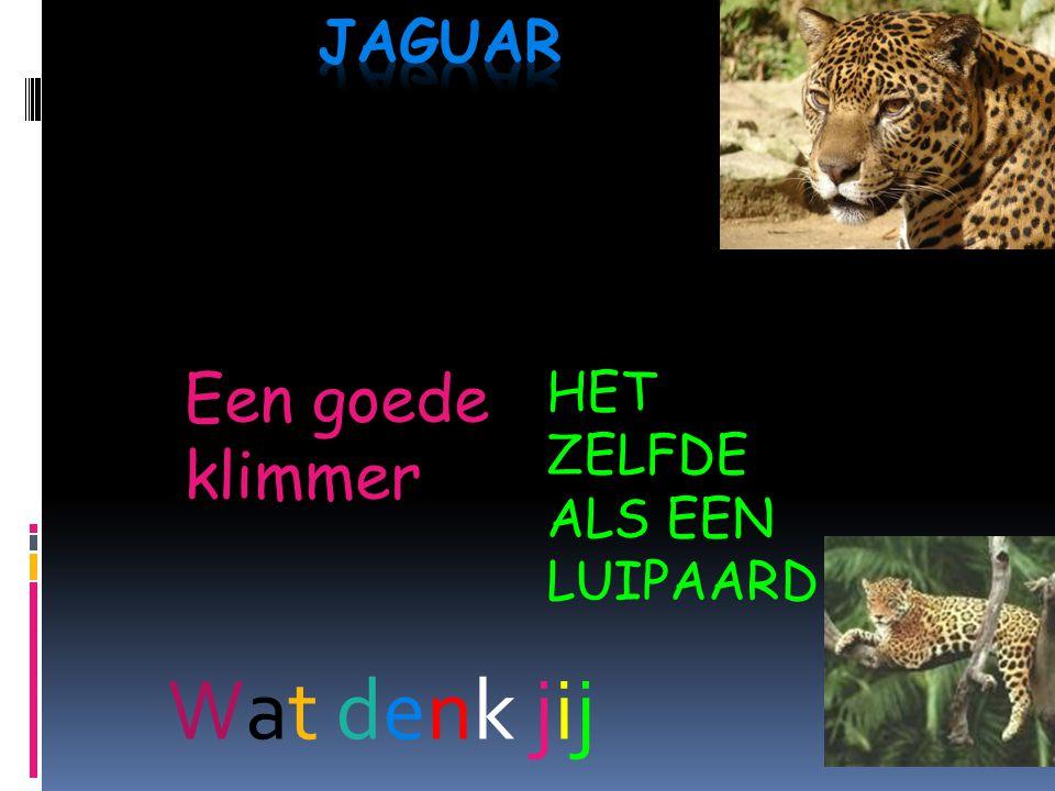 jaguar Een goede klimmer HET ZELFDE ALS EEN LUIPAARD Wat denk jij