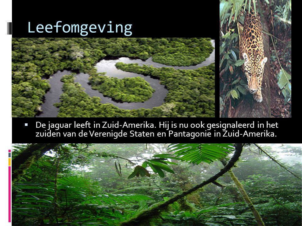 Leefomgeving De jaguar leeft in Zuid-Amerika.