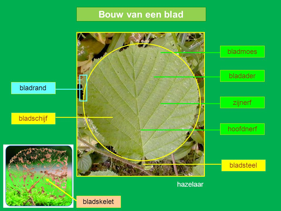 Bouw van een blad bladmoes bladader bladrand zijnerf bladschijf