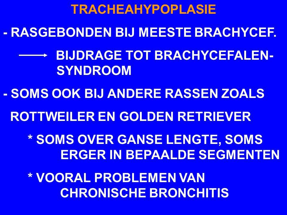 TRACHEAHYPOPLASIE - RASGEBONDEN BIJ MEESTE BRACHYCEF. BIJDRAGE TOT BRACHYCEFALEN- SYNDROOM.
