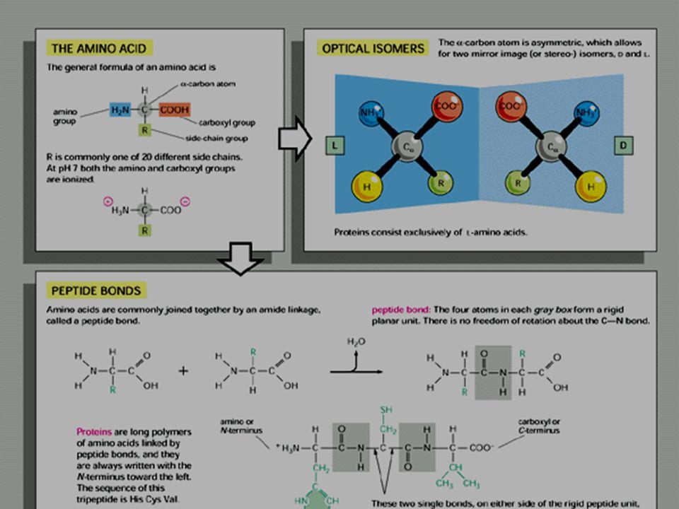 Eiwitten - AZ - peptidebinding