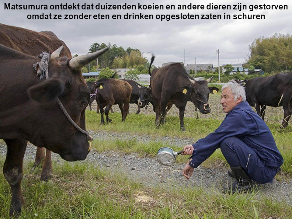 Matsumura ontdekt dat duizenden koeien en andere dieren zijn gestorven omdat ze zonder eten en drinken opgesloten zaten in schuren