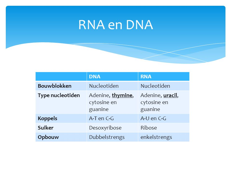 RNA en DNA DNA RNA Bouwblokken Nucleotiden Type nucleotiden