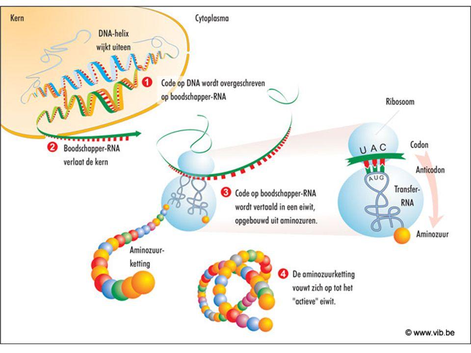 DNA -> RNA -> eiwit
