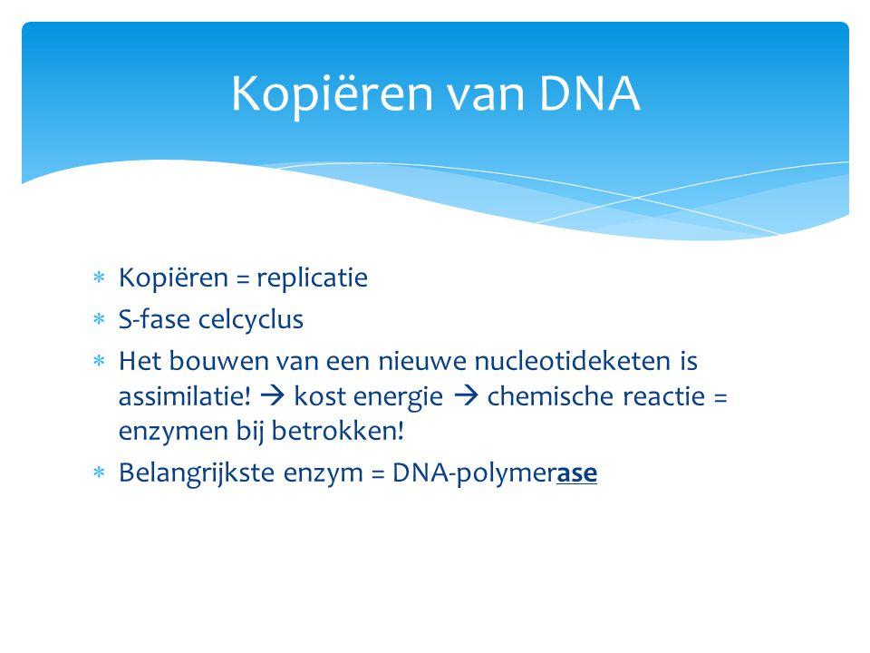 Kopiëren van DNA Kopiëren = replicatie S-fase celcyclus