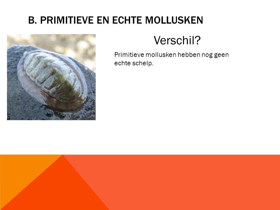 B. pRIMITIEVE EN ECHTE MOLLUSKEN