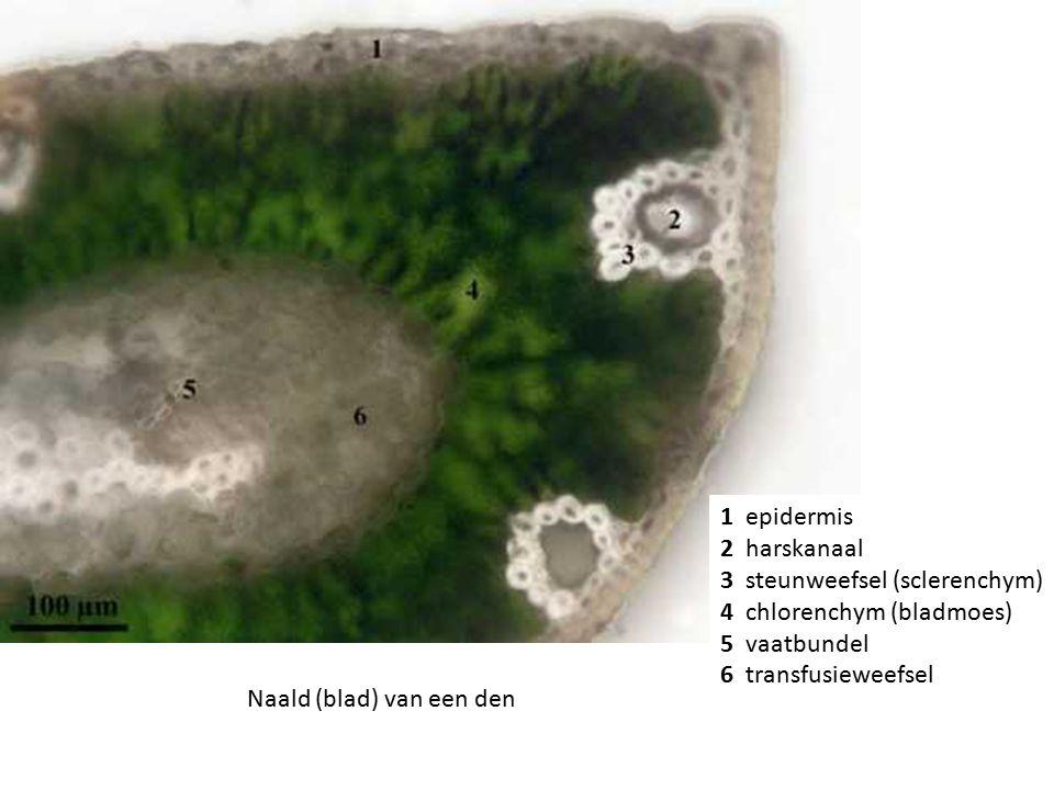3 steunweefsel (sclerenchym) 4 chlorenchym (bladmoes) 5 vaatbundel