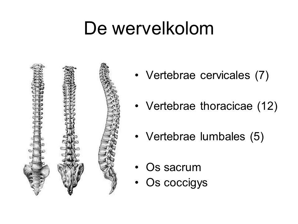 De wervelkolom Vertebrae cervicales (7) Vertebrae thoracicae (12)
