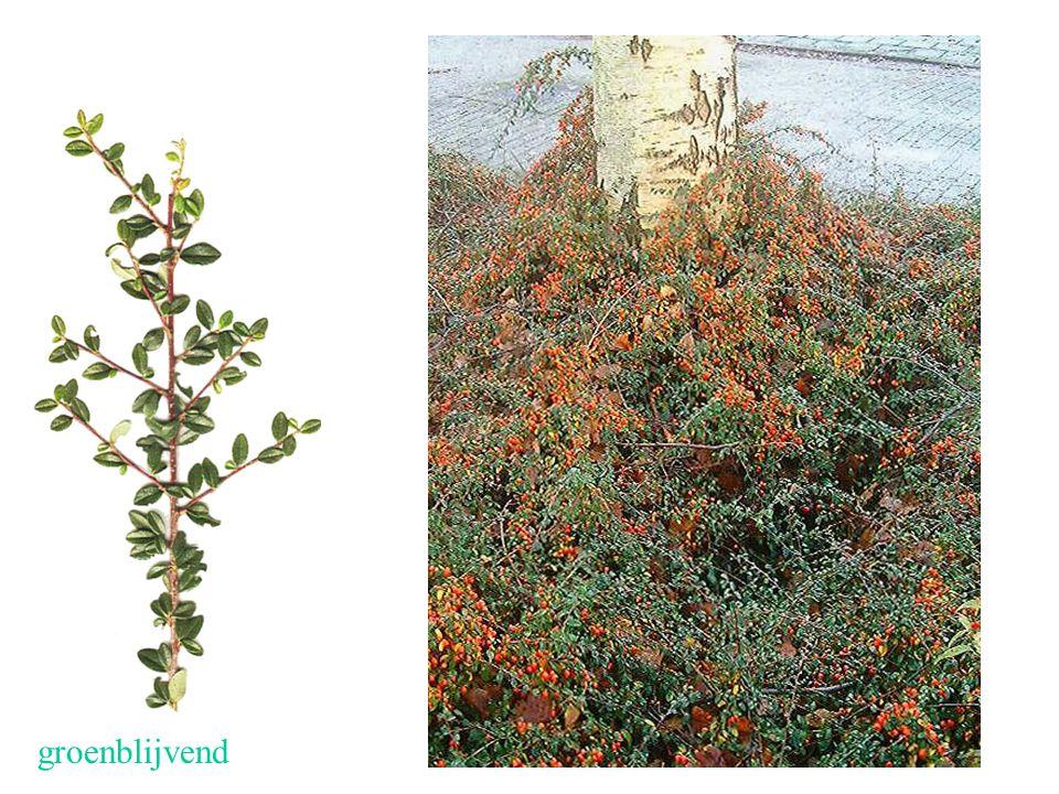 Cotoneaster x suecicus blad, struik