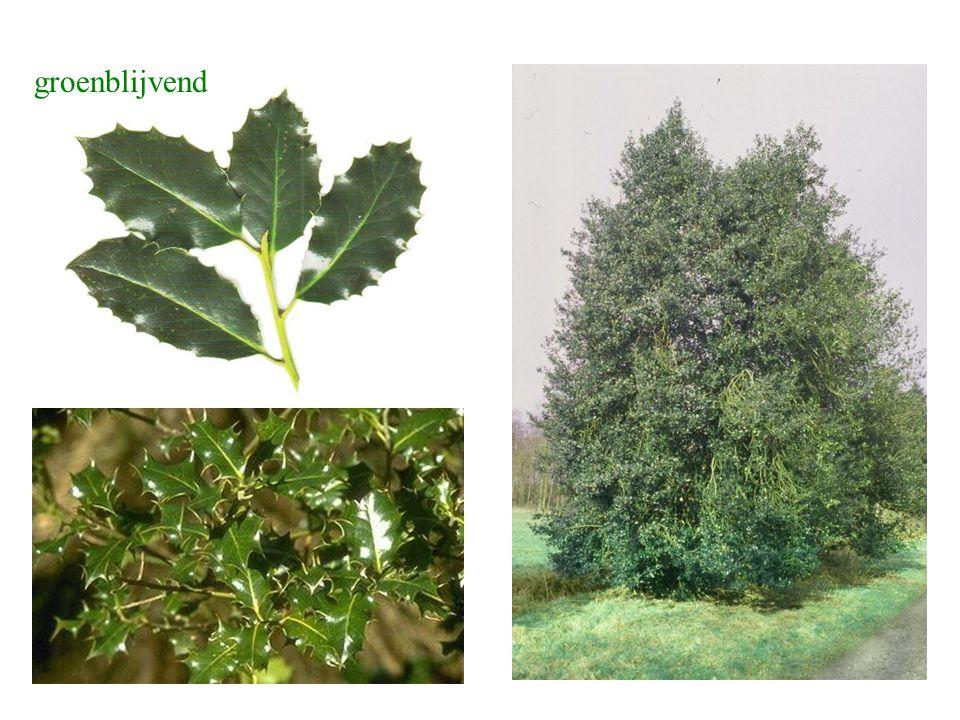 Ilex aquifolium blad, struik
