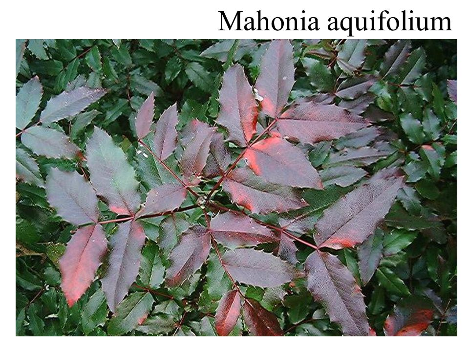 Mahonia aquifolium onderzijde groenblijvend
