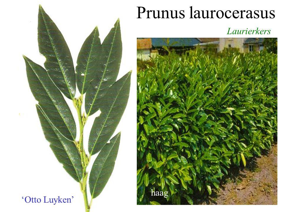 Prunus laurocerasus Laurierkers 'Rotundifolia' haag bloeiende plant