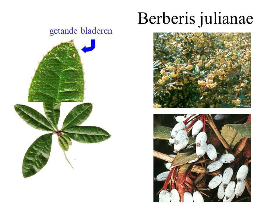 Berberis julianae getande bladeren
