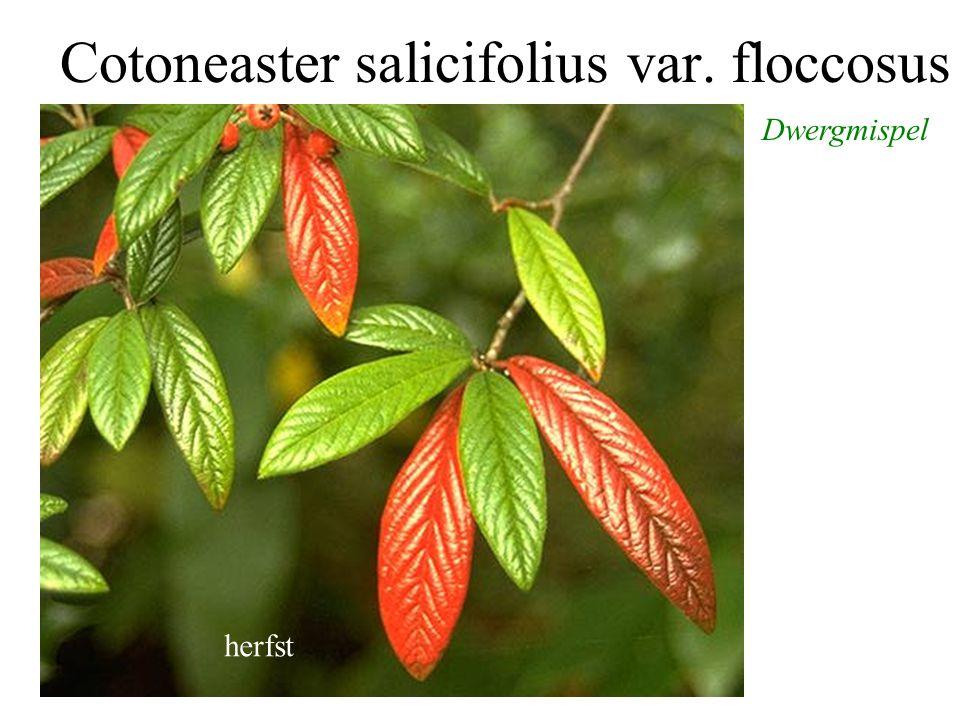 Cotoneaster salicifolius var. floccosus