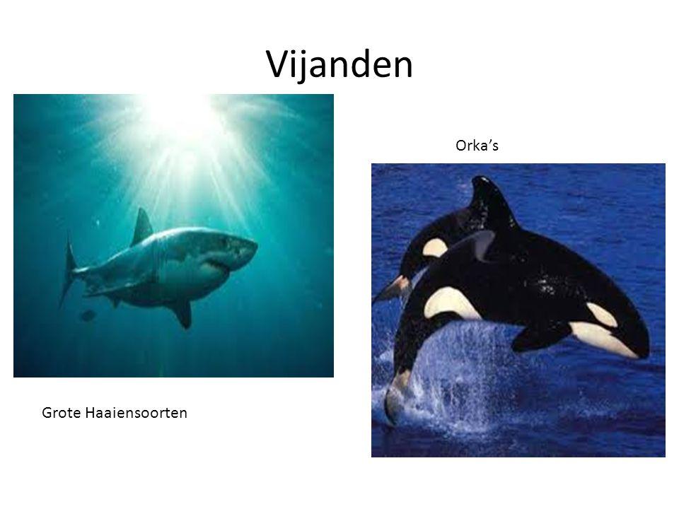 Vijanden Orka's Grote Haaiensoorten