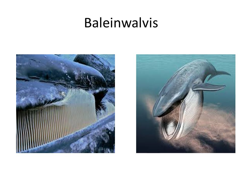 Baleinwalvis