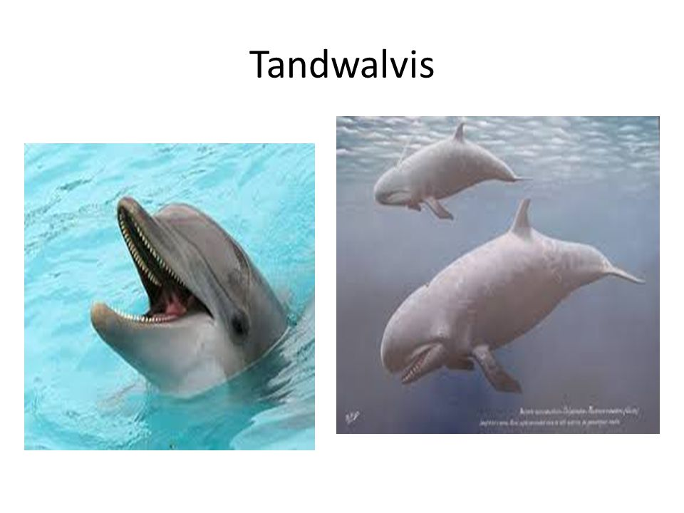 Tandwalvis