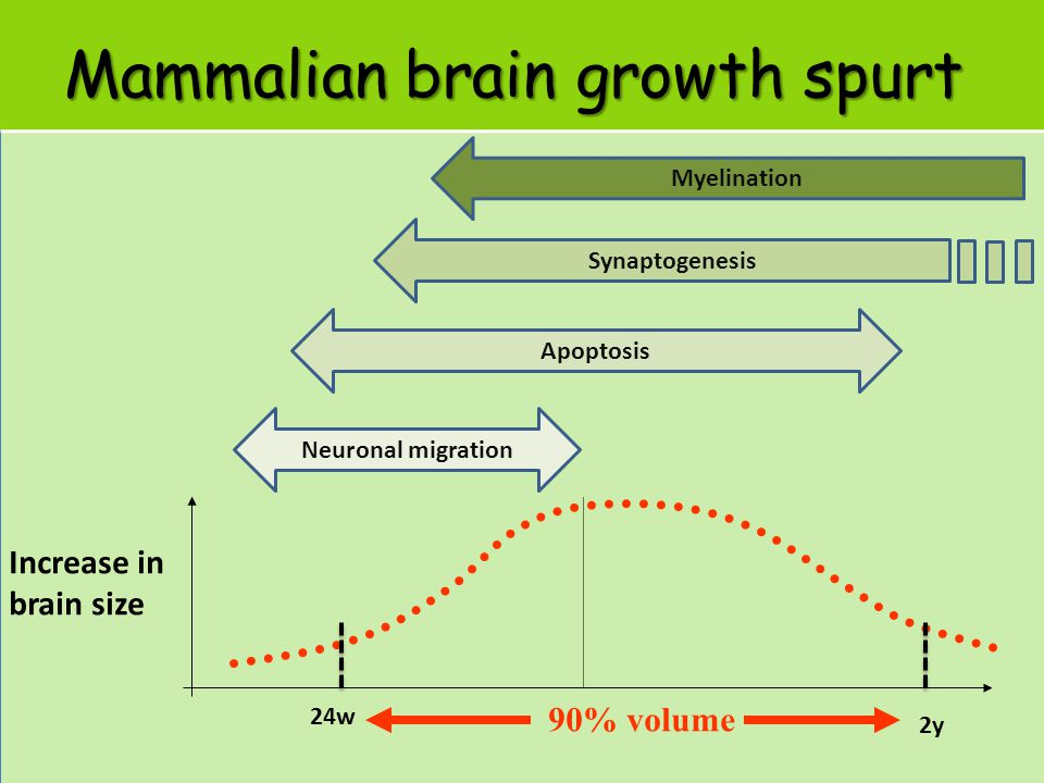 Mammalian brain growth spurt