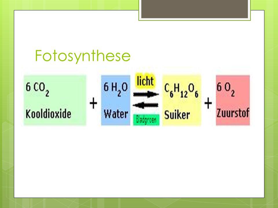Fotosynthese Planten produceren hun eigen suikers, oftewel, ze produceren hun eigen levensmiddelen.