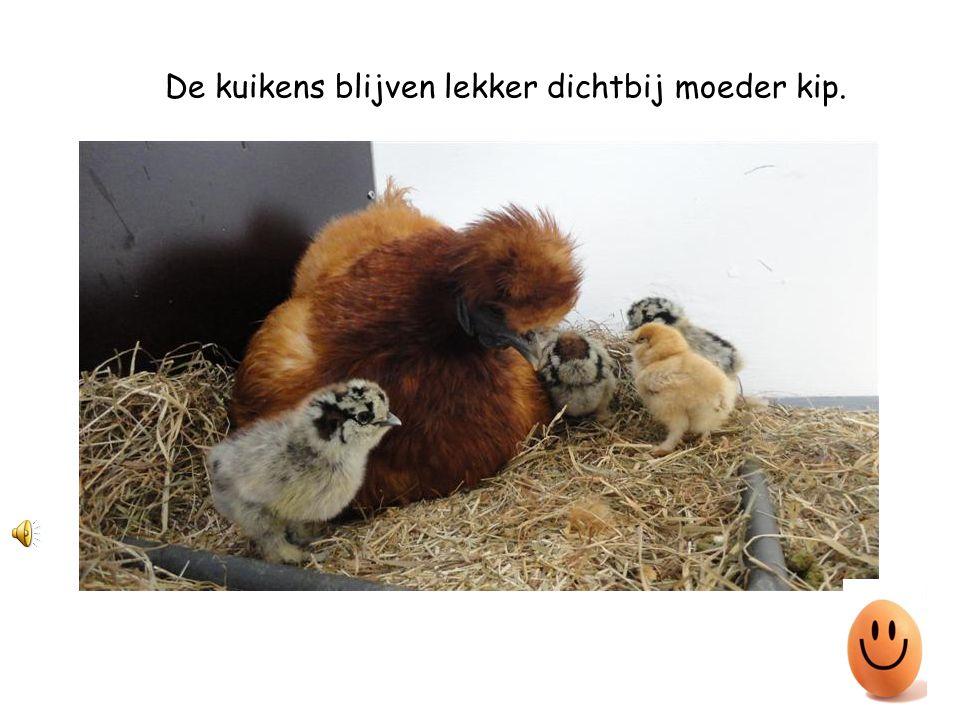 De kuikens blijven lekker dichtbij moeder kip.