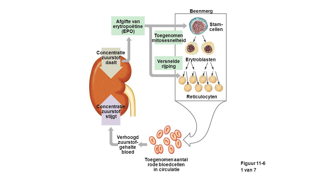 Beenmerg Afgifte van. erytropoëtine. (EPO) Stam- cellen. Toegenomen. mitosesnelheid. Concentratie.