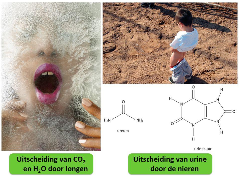 Uitscheiding van CO2 en H2O door longen