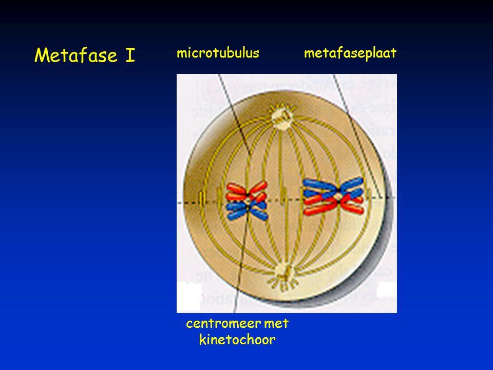 Metafase I microtubulus metafaseplaat centromeer met kinetochoor