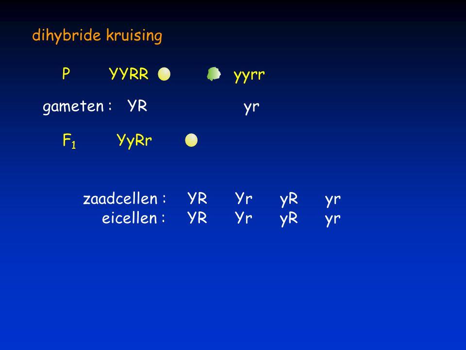 dihybride kruising P. YYRR. yyrr. gameten : YR.