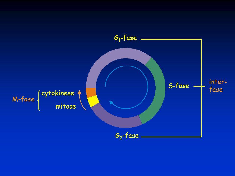 G1-fase inter- fase S-fase cytokinese M-fase mitose G2-fase